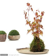 (盆栽/苔)私の小さな日本庭園 〜益子焼と苔玉盆栽 もみじ〜