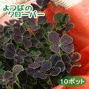 (観葉植物)四つ葉のクローバー しあわせみぃつけた 3号(10ポット)(ペーパーバッグ付き)(説明書付き) 北海道冬期発送不可