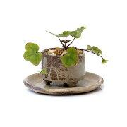(山野草/盆栽)雪割草 おまかせ益子焼鉢植え 丸型 小(1鉢)