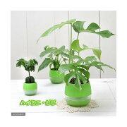 (観葉植物)おまかせハイドロ苗とライムグリーンビビセット Lサイズ苗(1セット)