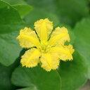 (ビオトープ/水辺植物)アサザ レモンイエロー花(1ポット分)