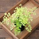 (観葉植物)アジアンタム スノーフレーク 斑少なめ 3号(1ポット) 北海道冬季発送不可