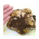 (観葉)超特大ゆり球根 北海道産 コンカドール(イエローカサブランカ) 30cmUP 1球
