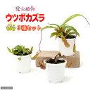 虫を捕食する脅威の植物!一風変わったインテリアにも!(食虫植物)ウツボカズラ ネペンテス 3種セット