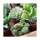 (観葉植物)おまかせ多肉植物 2号(10鉢) 北海道冬期発送不可