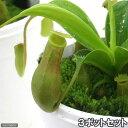 (食虫植物)ウツボカズラ ネペンテス アラタ(3ポットセット)