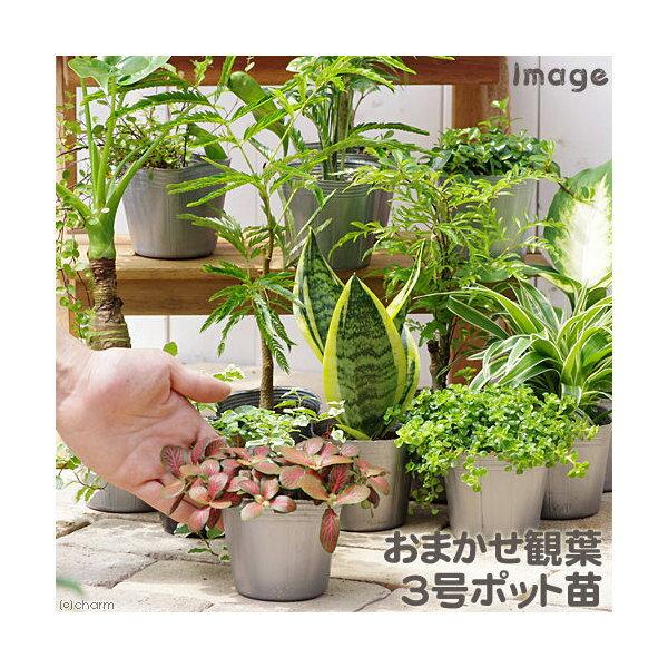 (観葉植物)おまかせ観葉植物 3号(1ポット)【HLS_DU】
