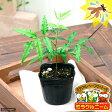 (観葉)ハーブ苗 ミラクルニーム 3号(1ポット) 虫除け植物