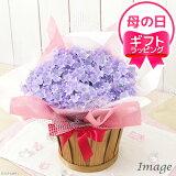 """紫色の花で株が覆いつくされます!爛漫 カンパニュラ """"メリーベル"""" 4.5号(1鉢) ラッピングver."""