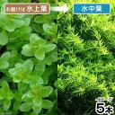 (水草)ロタラ ロトンディフォリア GOUTIN−RED(水上葉)(無農薬)(5本)