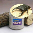 (昆虫)国産オオクワガタ幼虫(1匹) + 菌糸瓶 大夢B プロスペック 800cc 1本 説明書付 本州・四国限定