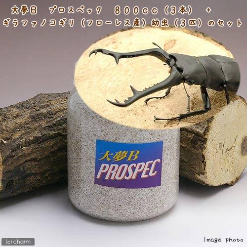 (昆虫)ギラファノコギリクワガタ(フローレス産)幼虫(3匹) + 大夢B プロスペック 800cc(3本)(説明書付) 本州・四国限定