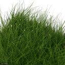 (水草)ヘアーグラス ショート(水上葉)大盛り土付き(無農薬)(1パック) 北海道航空便要保温