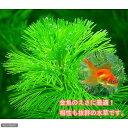 (水草)メダカ・金魚藻 エサ用カボンバ(バラ50本) 北海道航空便要保温