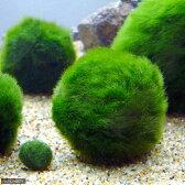 (水草)セイヨウマリモ Sサイズ(約2〜3cm)(無農薬)(1個)