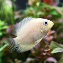 (熱帯魚)ゴールデン・セベラム(1匹)