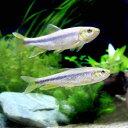 (淡水魚)カワムツ Mサイズ(1匹)