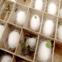 (昆虫)蚕 飼育セット 絹糸作出キット 自由研究 説明書付き 本州・四国限定