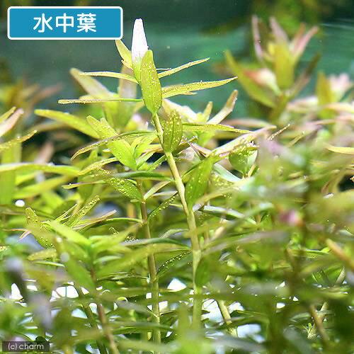 (水草)ロタラ ロトンディフォリア 福建省(水...の紹介画像2