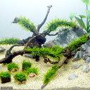(水草)育成済 ジャイアント南米ウィローモス 枝状流木 Mサイズ(無農薬)(1本)