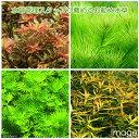 (水草 熱帯魚)水草管理スタッフお勧め水草セット(無農薬)(10種80本)(完全水中葉)