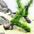 (水草)育成済 ウィローモス 枝状流木 Sサイズ(無農薬)(1本) 北海道航空便要保温