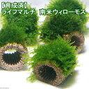 (水草)育成済 ライフマルチ(茶) 南米ウィローモス(無農薬)(3個)