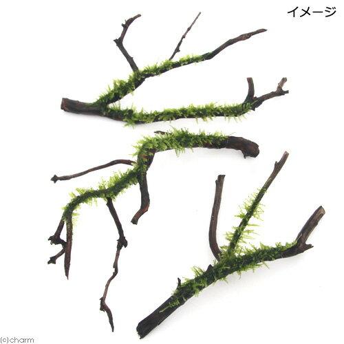 (水草)巻きたて 南米ウィローモス 枝状流木 ...の紹介画像2