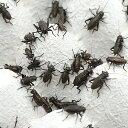 (生餌)クロコオロギ(フタホシコオロギ) SM 20グラム(約100匹) 爬虫類 両生類 大型魚 餌 エサ 北海道・九州航空便要保温
