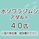 (生餌)ホソワラジムシ アダルト(40匹) 北海道・九州航空便要保温