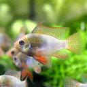 (熱帯魚)レインボー・ラミレジィ(国産ブリード)(1ペア)