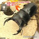 (昆虫)本州・四国限定 国産オオクワガタ 幼虫(10匹) + XLマット クワガタ用 10リットル