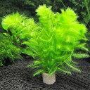(水草)メダカ・金魚藻 ライフマルチ(茶) ウトリクラリア アウレア(ノタヌキモ)(無農薬)(3個) 北海道航空便要保温