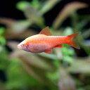 (熱帯魚)アルビノチェリー・バルブ ピュアレッド(1匹) 北海道・九州・沖縄航空便要保温