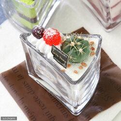 (観)ミニサボテン スイーツコレクション ~ショートケーキ ホワイト~ (1個)《説明書付き》