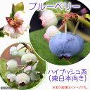 (観葉植物)果樹苗 ブルーベリー 東日本向き(ハイブッシュ系) 5号(1ポット) 家庭菜園
