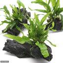 (水草)ミクロソリウム プテロプス ナロー付 流木 SSサイズ(1本)(約10cm)