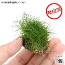 (水草)育成済 ヘアーグラスショートボール(無農薬)(1個) 北海道航空便要保温