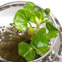 (ビオトープ/水辺植物)斑入りホテイ草(3株) 金魚 メダカ