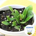 (食虫植物)ミミカキグサ ロンギフォリア 3号(1ポット)