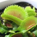 虫を捕食する脅威の植物!一風変わったインテリアにも!(食虫植物)ハエトリソウ ブリストルトゥース 3号(1ポット)