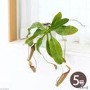 (食虫植物)ウツボカズラ ミランダ 5号(1鉢)