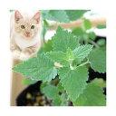 RoomClip商品情報 - (観葉植物)ハーブ苗 猫草 キャットニップ コモン 3号(1ポット) 家庭菜園