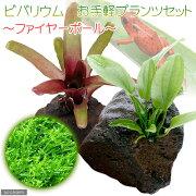 (観葉植物)(水草)ビバリウム お手軽プランツセット 〜ファイヤーボール〜 本州・四国限定
