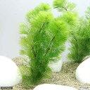 (水草)メダカ・金魚藻 ライフマルチ(茶) カボンバ(1個)