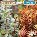 (水草)ロタラ ロトンディフォリア コロラタ(水上葉)(無農薬)(40本) 北海道航空便要保温