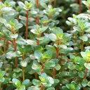 (水草)ロタラsp.アンナミカ(水上葉)(無農薬)(10本)