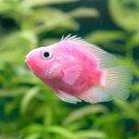 (熱帯魚)カラーパロットファイヤー・シクリッド ピンク(1匹) 北海道航空便要保温