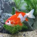 (国産金魚)更紗和金(サラサワキン) 11cm〜14cm(1匹)