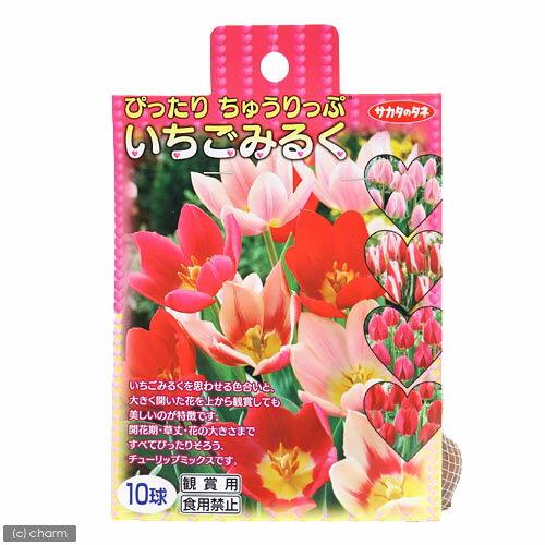 (観葉植物)チューリップ球根 ぴったりちゅうりっぷ いちごみるく 10球詰(1袋)